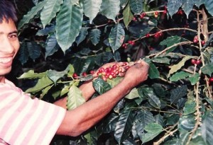 Coffee beans on the tree Equador